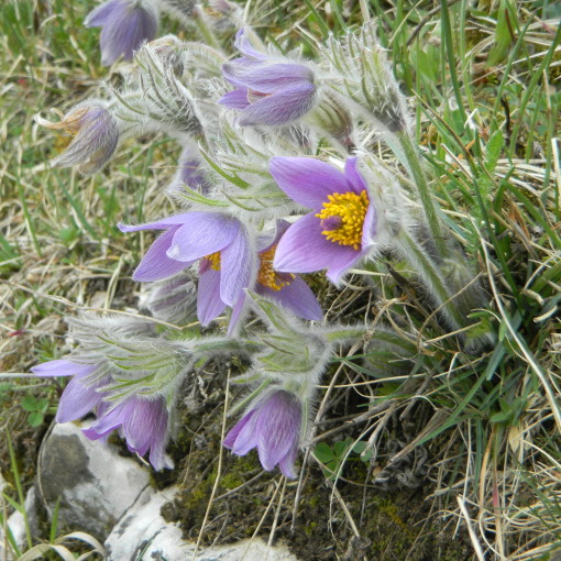 Küchenschelle blüht lila auf Magerrasen