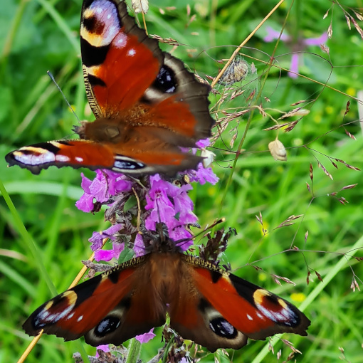Landschaftspflege tut den Schmetterlingen gut!